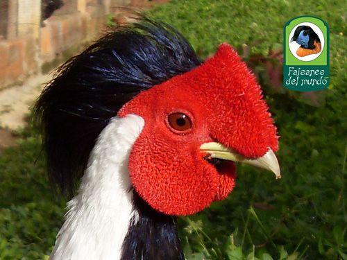 Faisan Plateado Species Information From Faisanes Del Mundo Pheasant Birds Love Birds