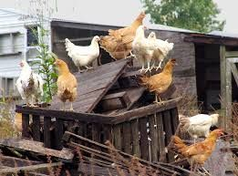 chickens - Google Search