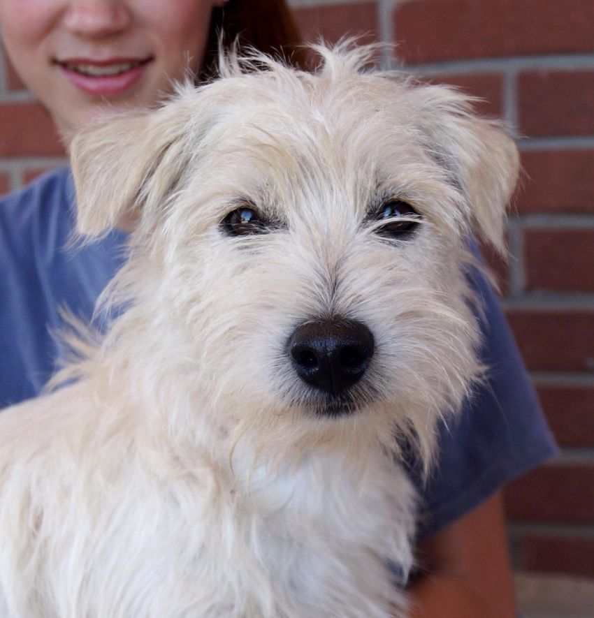 Cairn Terrier Dog For Adoption In Carrollton Tx Adn 722161 On