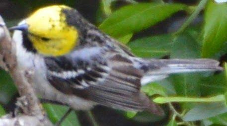 Hermit Warbler - First ID'd 05/09/2015 in Murrieta, CA
