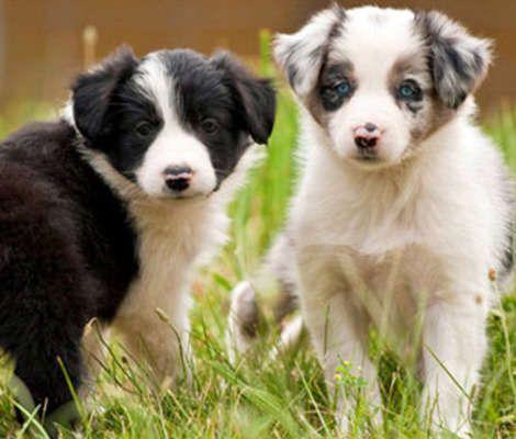 12 Brightest Dog Breeds Dog Breeds Collie Puppies Puppy Facts