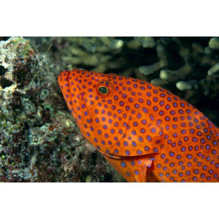 Fiji Close-Up Of Coral Grouper (Cephalopholis Miniata) Head Canvas Art - Dave Fleetham Design Pics (19 x 12)
