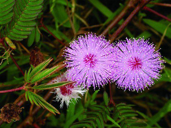 gartenpflanzen kaufen mimosa pudica blüten lila gartenpflanzen - gartenpflanzen