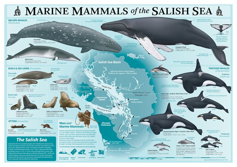 an overview of the anatomy and habitat of killer whales The blue whale has been called the sulfur-bottom whale because  while the formidable killer whale feeds on  and a weight of 180 metric tons (nearly 200 short [us] tons) every major habitat has been exploited.