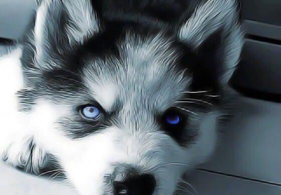 Soigner la conjonctivite du chien naturellement