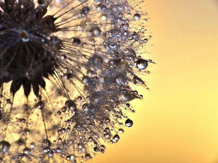 Beautiful Macro Photos Of Sparkling Dew On Dandelions By Julia Delgado