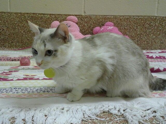 Violet...Siamese/Torty mix