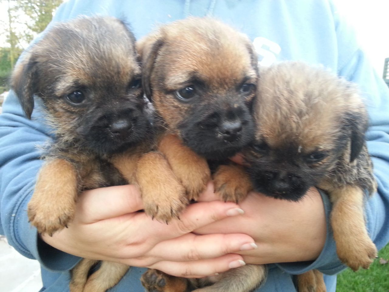 This Advert Is For Our Litter Of Border Terrier Puppies They Are