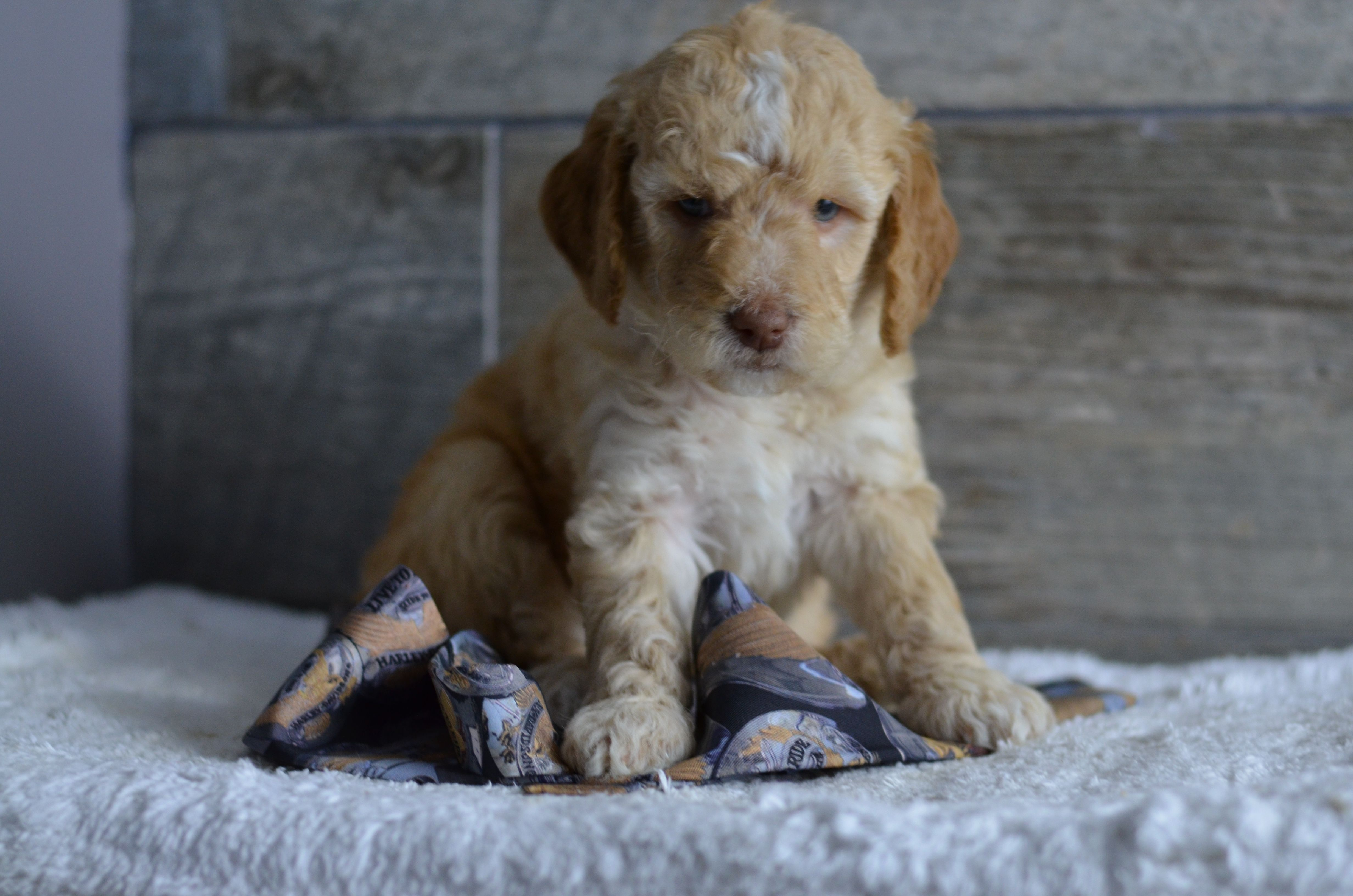 Medium Mini Petite Goldendoodle Puppies For Sale In Iowa