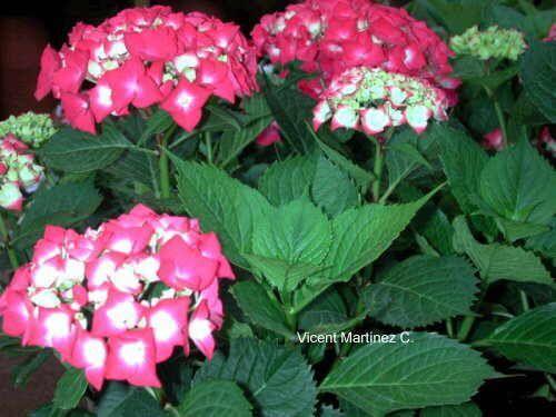 Cu ndo podar y sacar esquejes flores y plantas - Hortensias cuidados poda ...