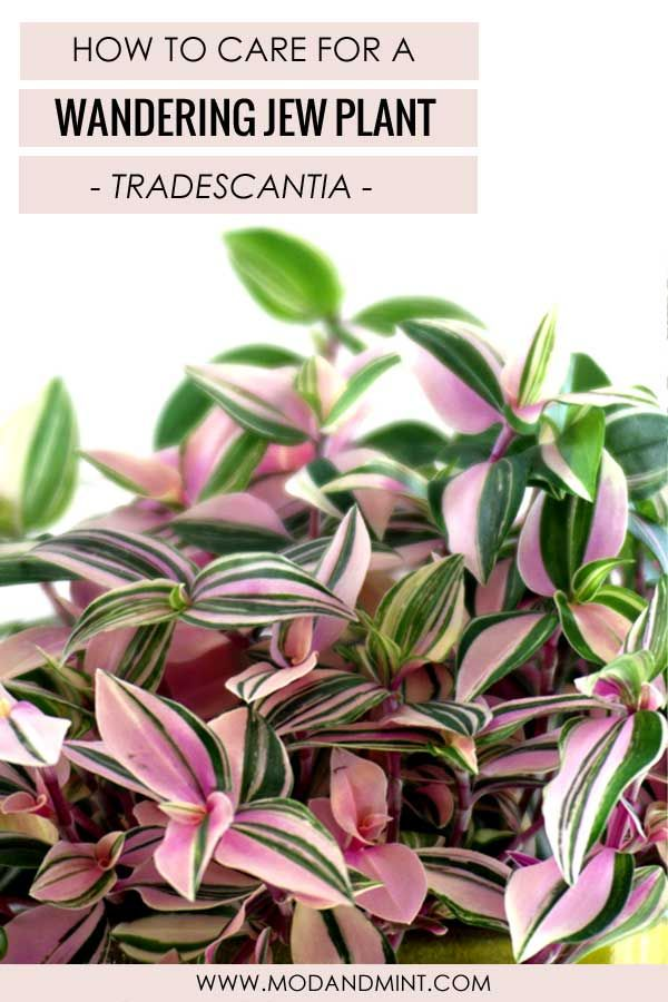 How to Care for an Indoor Wandering Jew plant - Tradescantia #wanderingjewplant