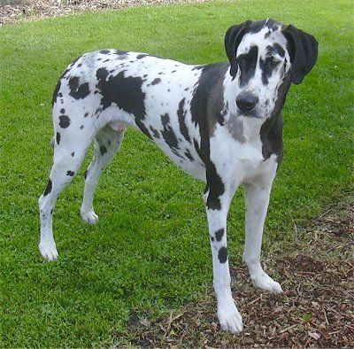 Great Cross Of Dalmation Great Dane Bull Mastiff Dalmatian Mix