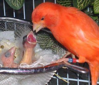 Cara Merawat Anakan Kenari Yang Baru Menetas Dan Induknya Burung Kenari Hewan Peliharaan