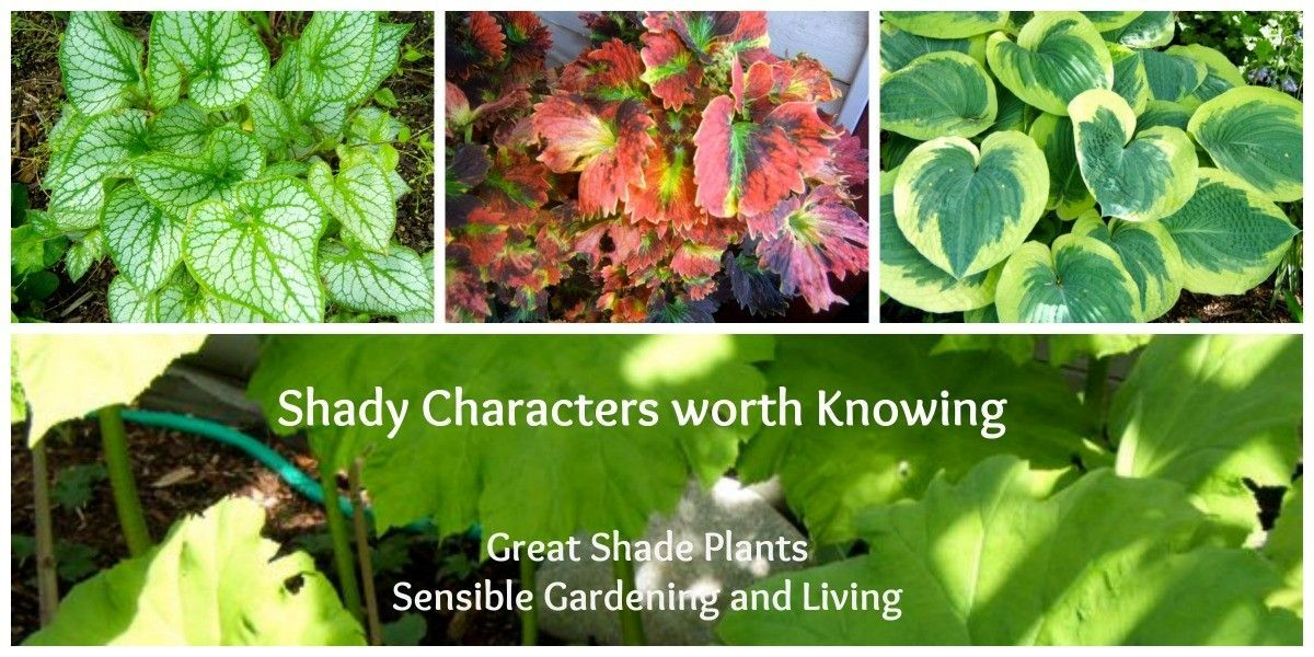Shady Characters Worth Knowing ( Great Shade Plants #shadeplantsperennial Many shade plants offer the gardener very attractive foliage. Be introduced to a large selection of the best shade plants for your garden. #shadeplantsperennial