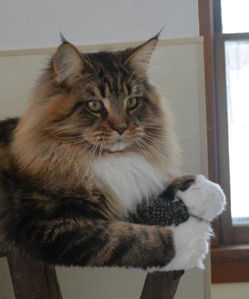Rock Star Cats, Maine Coon Breeder in Oconomowoc, WI