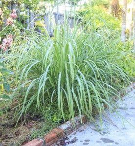 6 Fragrant Herbs Plants That Repel Flies Lemongrass Plant Mosquito Repelling Plants Fragrant Plant