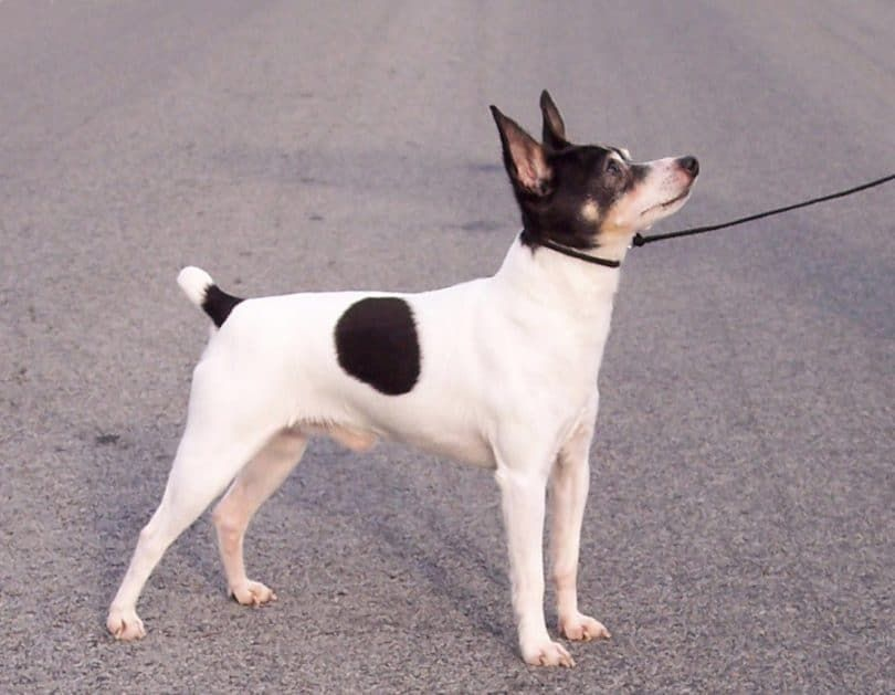 The Amertoy Descends From Small Fox Terriers Bred With Chihuahuas