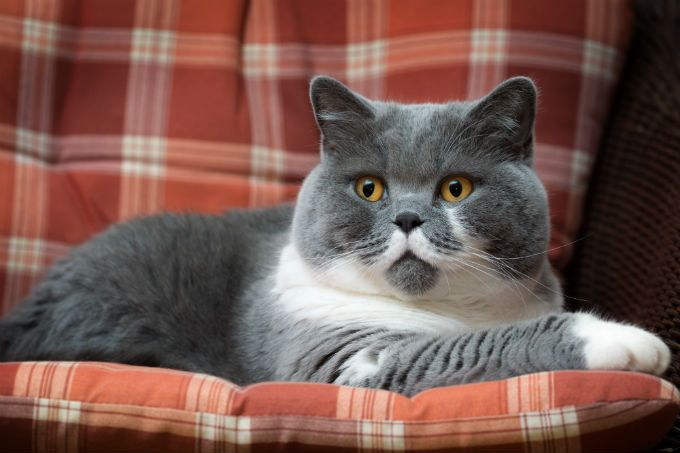 British Shorthair Cat Breed Information Pictures Characteristics Facts Rare Cats Rare Cat Breeds British Shorthair Cats
