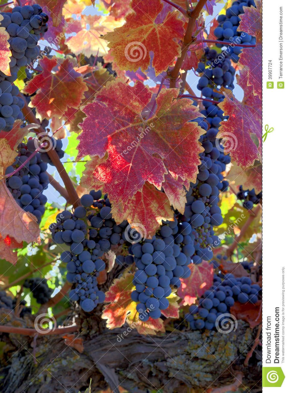 Photo About Red Varietal Wine Grapes On Vine Ripe For Harvest Colorful Red Autumn Leaves Image Of California Vineyard Colorful Grapes Varietal Grape Vines