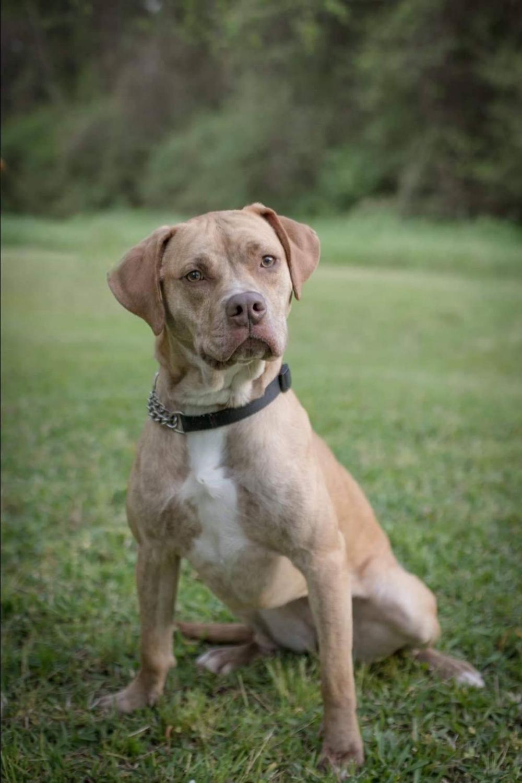Adopt Josie on Mutt dog, American bulldog mix, Brown dog