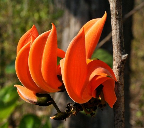 Butea monosperma flowers Baluran National Park East Java ...