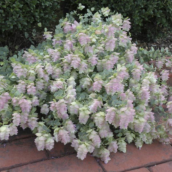 Image result for kent beauty flowering oregano fall colors