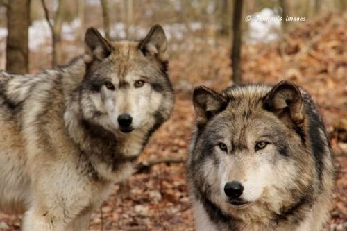 Wolves by Johnny's Images.