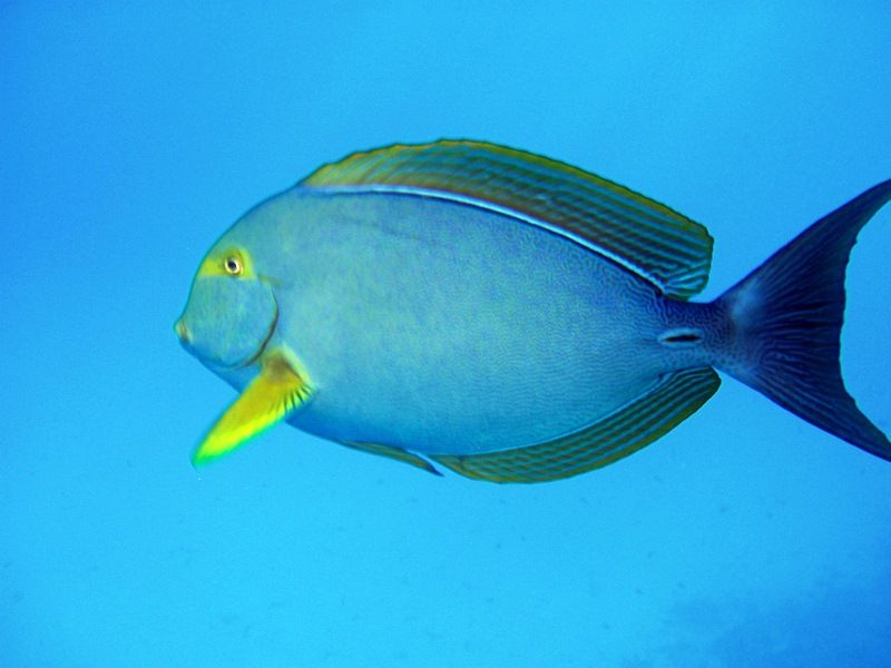 The yellowfin surgeon fish one of the species of salt for Si fish and more