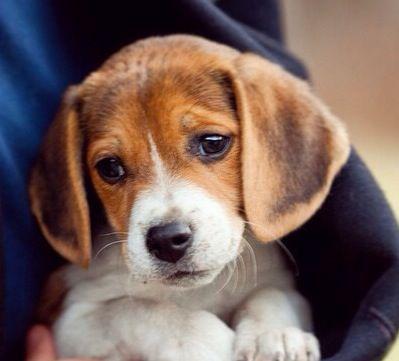 Cute beagle DOG PICS'S Beagle puppy, Dog breeds, Puppies