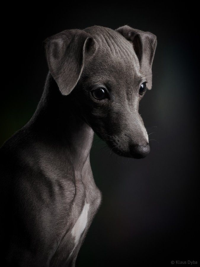 Gentle Gray Collage Collection Italian Greyhound Dog