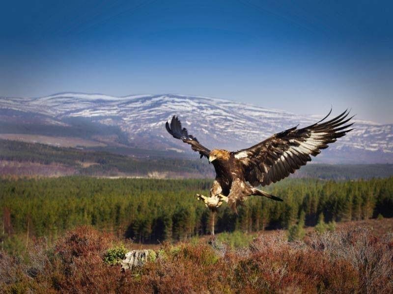 Golden Eagle, Scotland's largest bird of prey.