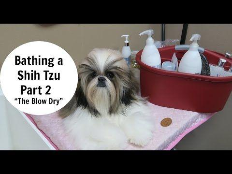 Bathing A Shih Tzu Part 2 The Blow Dry Youtube Shih Tzu Dog