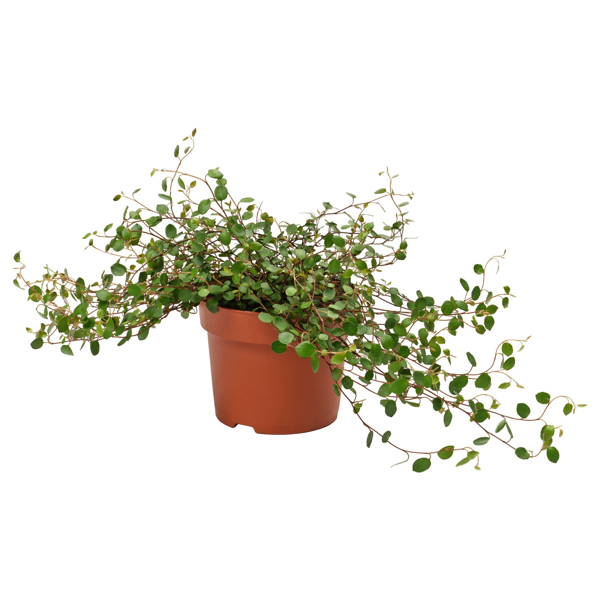 ikea muehlenbeckia plante en pot plantes d 39 int rieur pinterest deco terrasse les verts. Black Bedroom Furniture Sets. Home Design Ideas