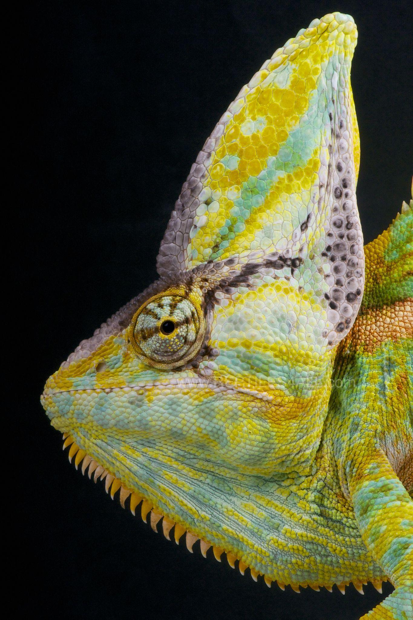Cone Head Chameleon Chamaeleo Calyptratus Colorful Lizards Veiled Chameleon Chameleon Lizard