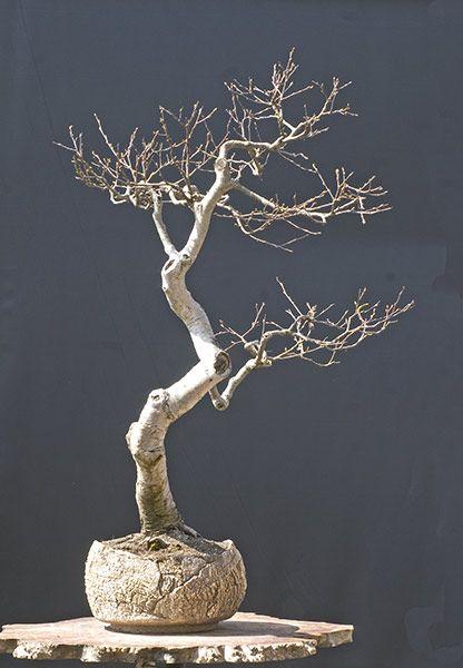 bettula bonsai - Google zoeken