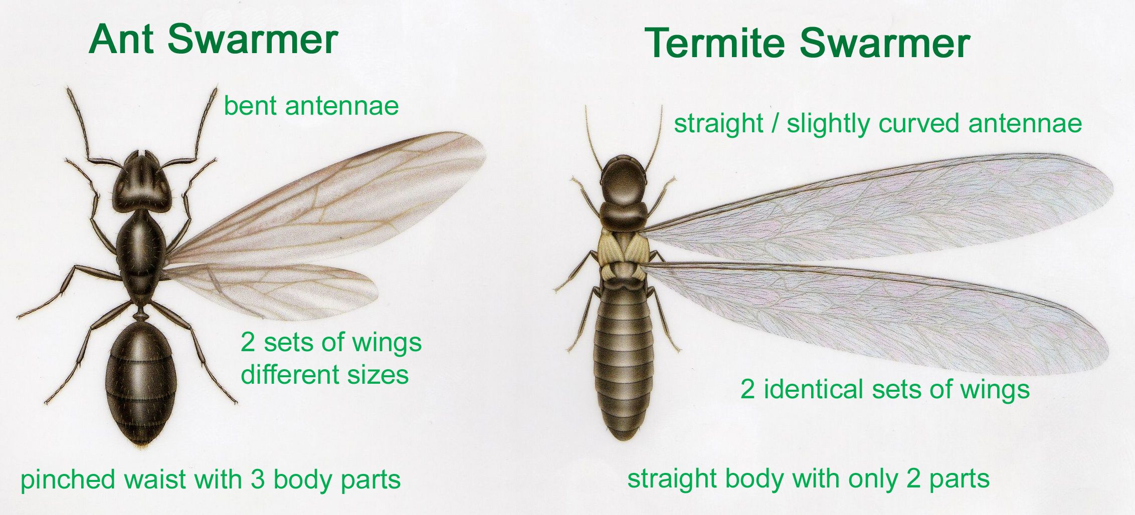 Help i think i have termites ants termites termite