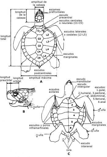 esqueleto de tortuga marina - Buscar con Google | animalitos ...
