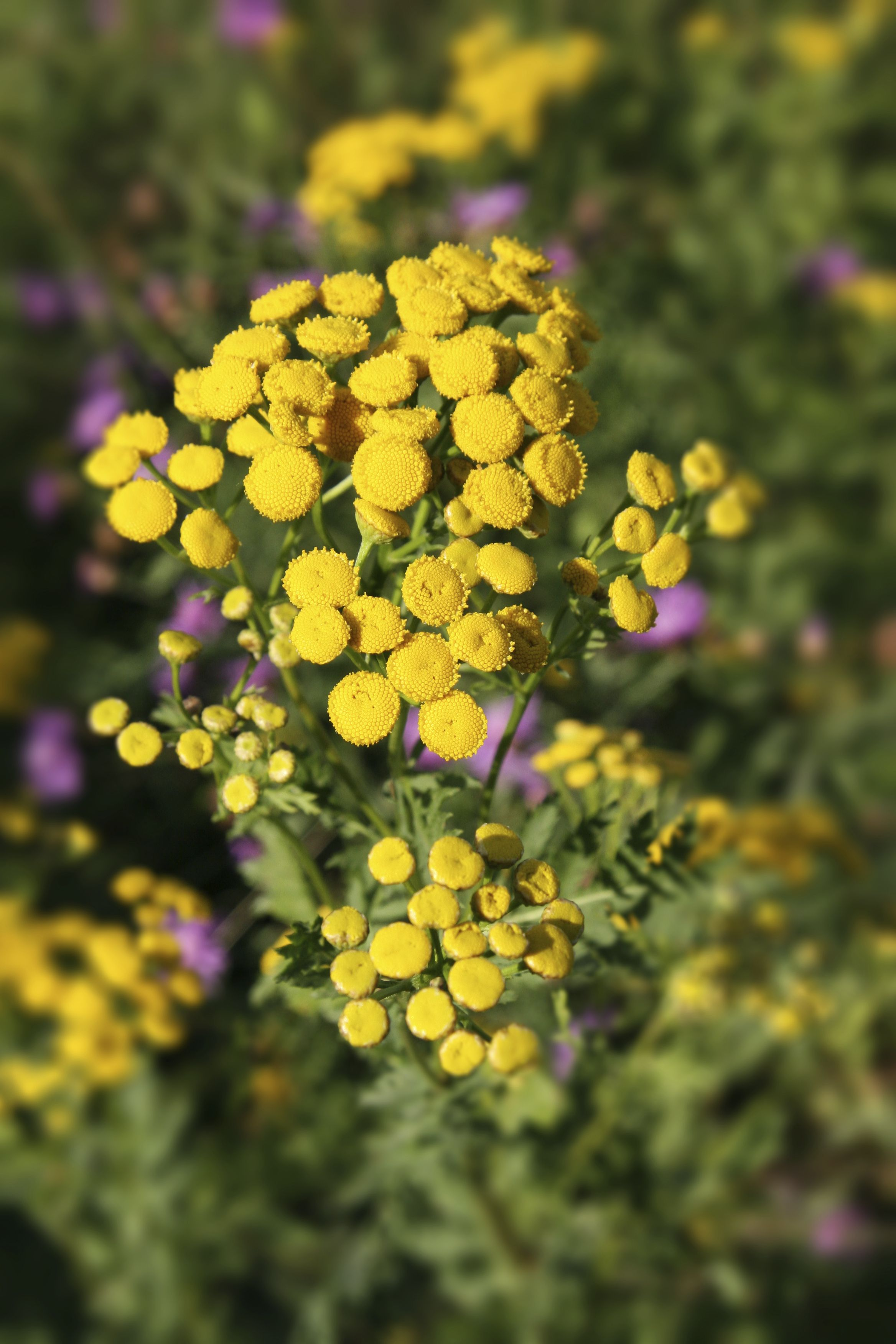 Tansy Or Bachelors Buttons To Give It Its Country Name Has Bright