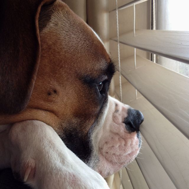 boxer dog, waiting for you to return...