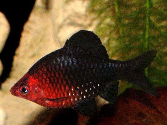 Black Ruby Barb Puntius Nigrofasciatus I D Like To Work With A Barb At Some Point And While These Ar Aquarium Fish Fresh Water Fish Tank Aquarium Fish Tank