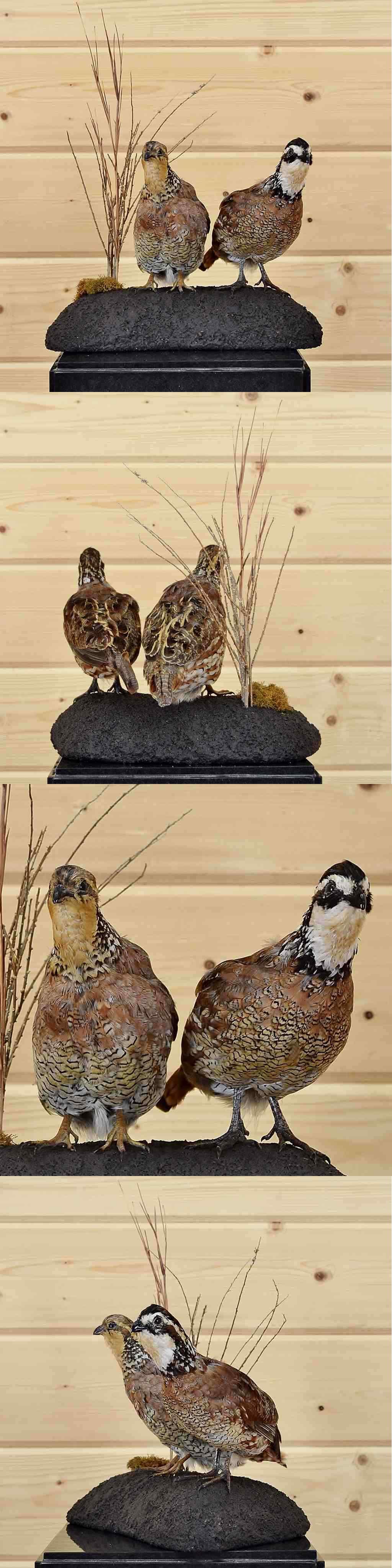 Birds 71123: Bobwhite Quail Pair Taxidermy - Sw4519 -> BUY