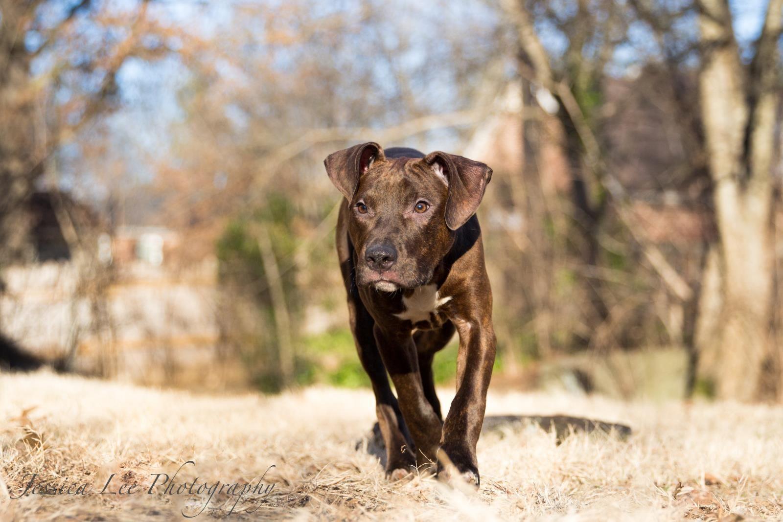 Staffordshire Bull Terrier dog for Adoption in Nashville