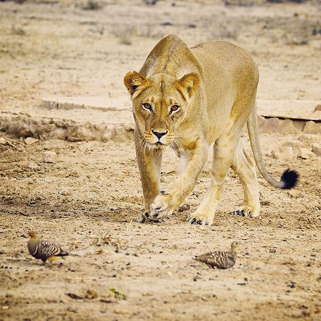 Lioness stalking sandgrouse i guess if youre hungry anything guess if youre hungry anything will do httpkruger 2 kalahari image from the photographers guide to the kgalagadi transfrontier park ebook fandeluxe Ebook collections