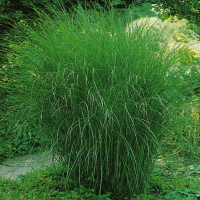 miscanthus sinensis gracillimus mid south gardening sun pinterest grasses planting and. Black Bedroom Furniture Sets. Home Design Ideas