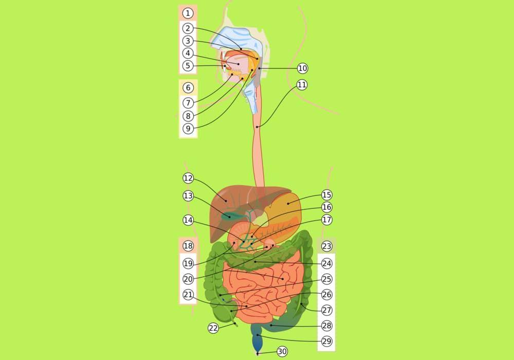 Organ Organ Pencernaan Manusia Pengertian Dan Contoh Energi Manusia