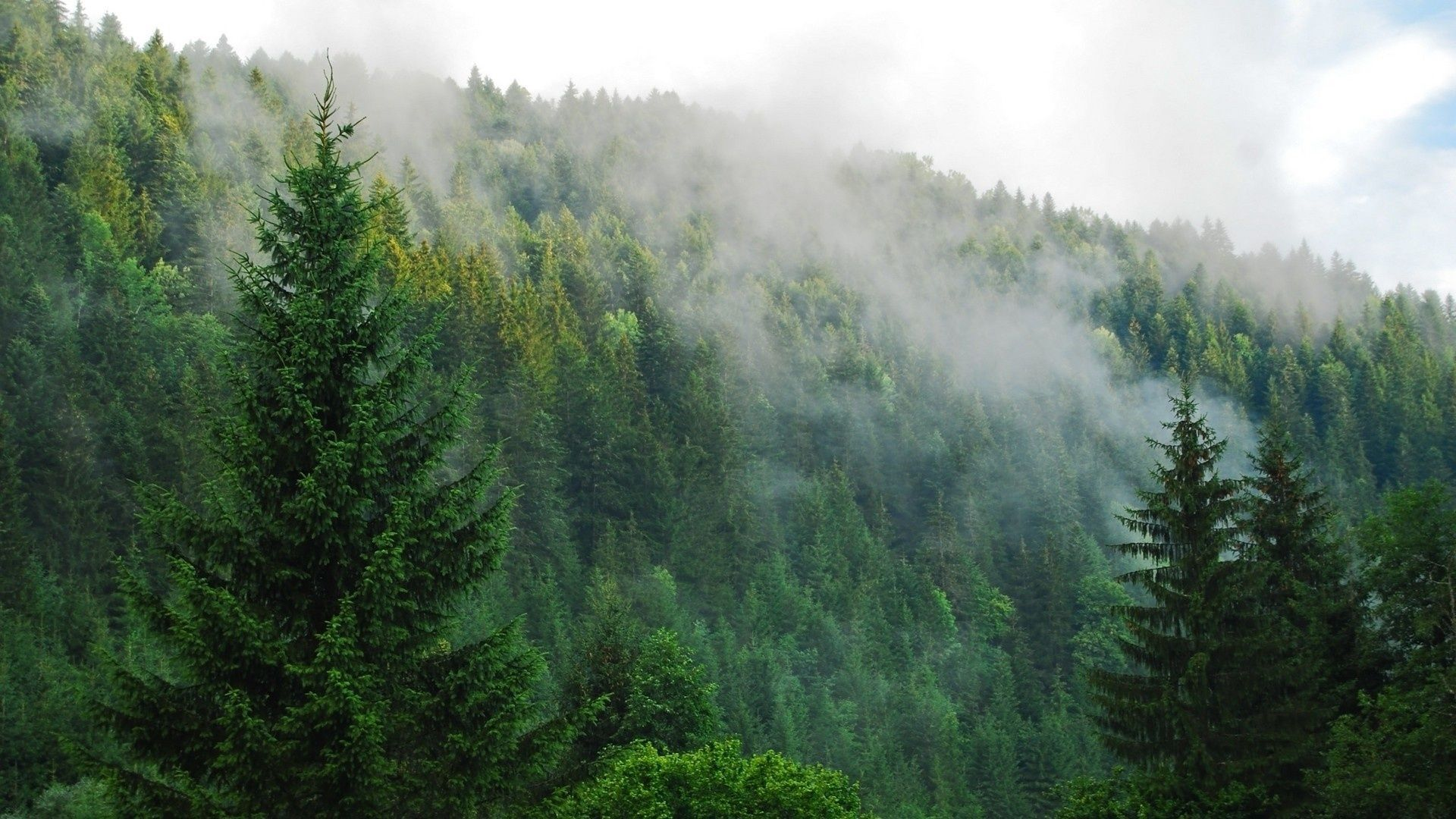 Green forest tumblr google forest - Pine tree wallpaper iphone ...