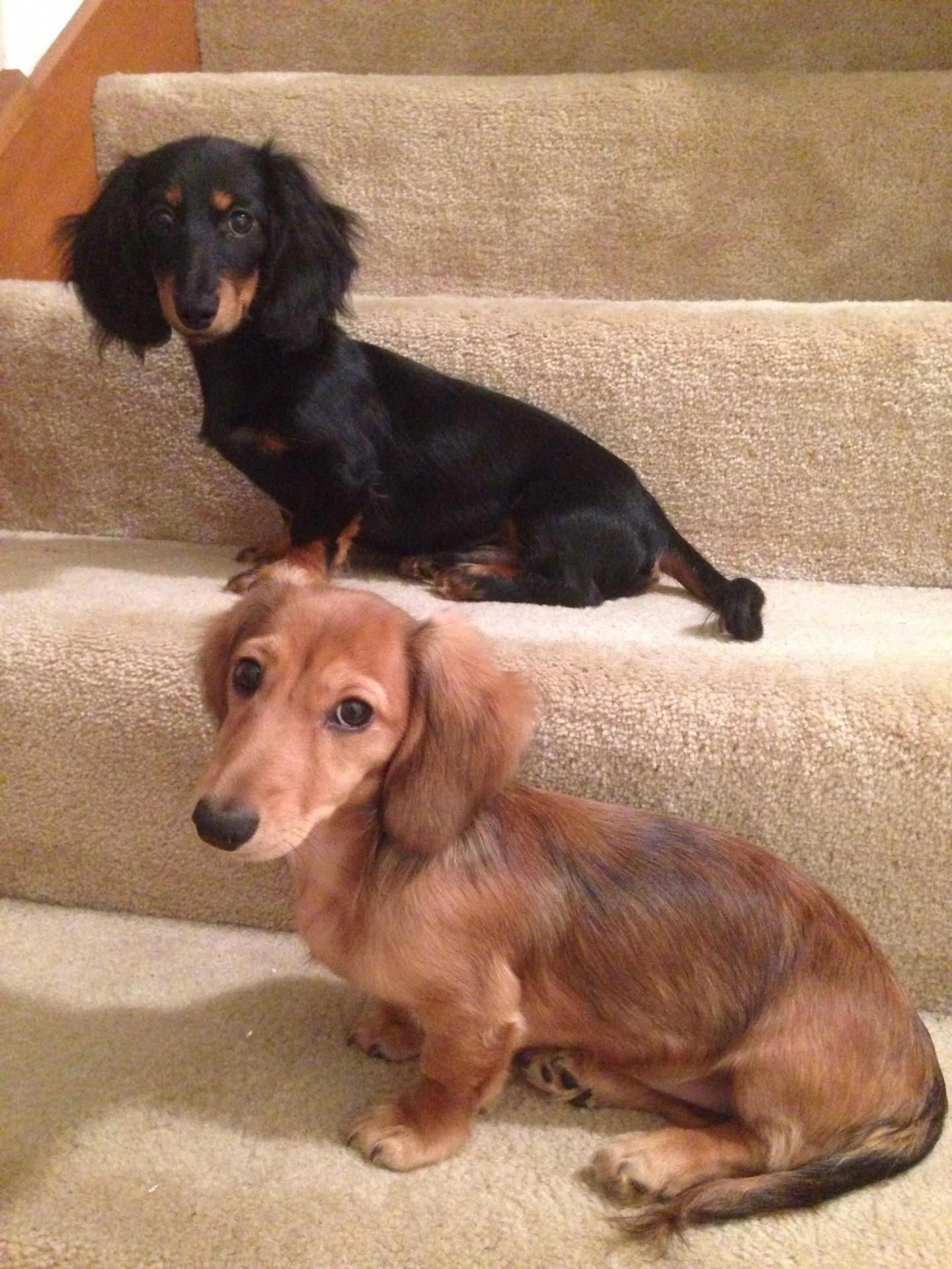 Everything About The Inquisitive Dachshund Dogs Personality