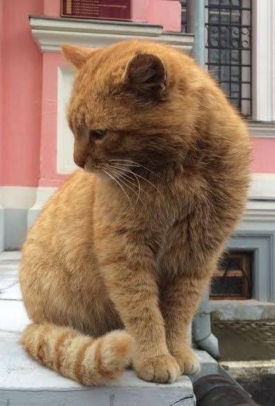 Russian Museum S Newest Employee Is A Big Orange Cat Named Maray Orange Cat Orange Cats Cats