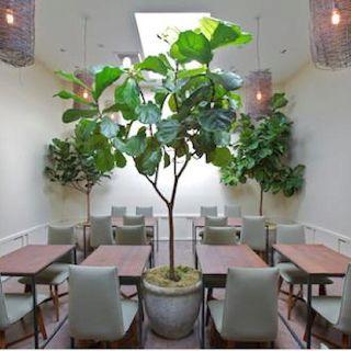 Beautiful fig tree!