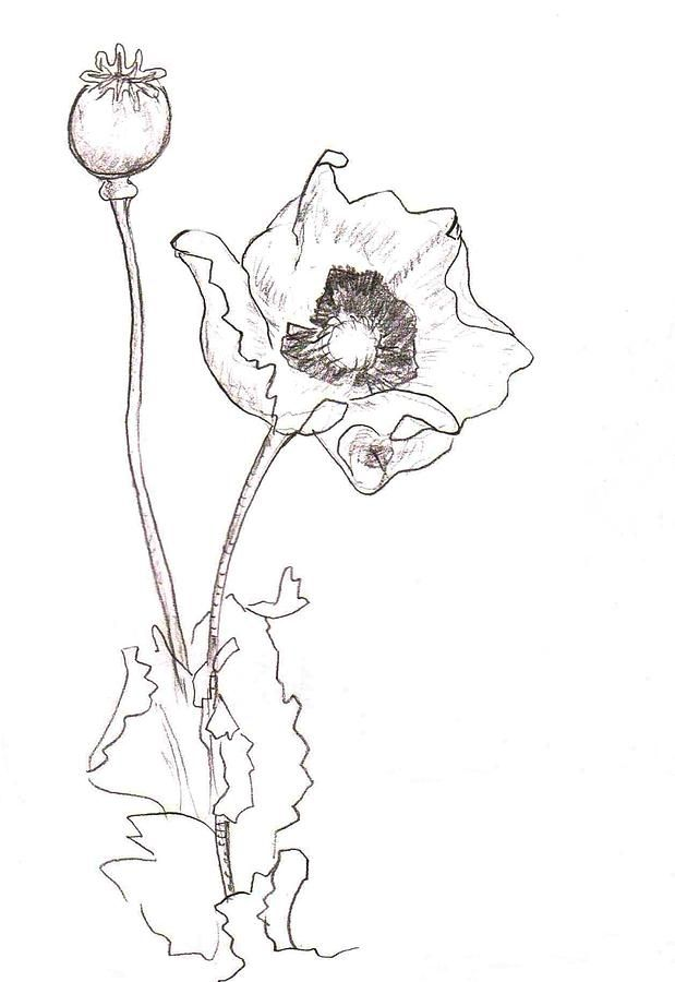 Draw poppies poppy clip art poppy line drawing poppy flower draw poppies poppy clip art poppy line drawing poppy flower drawing poppies mightylinksfo